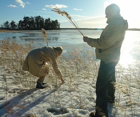 Collecting rushes at the Espoo shore