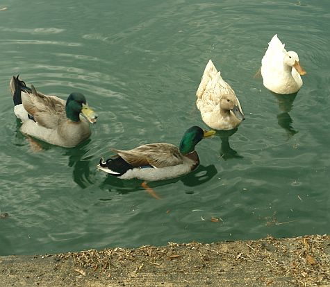 Ducks at the shore of Windsor Park Lakes