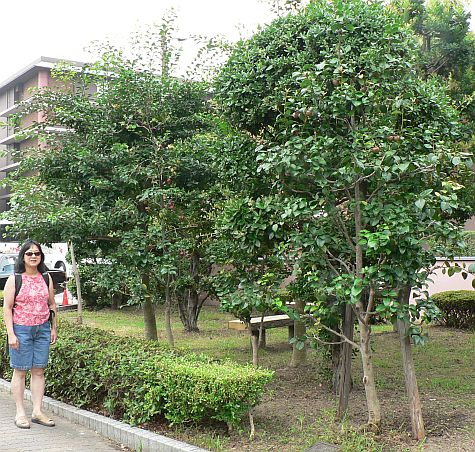 20070724_Kyoto_Horikawa_fruit_trees_DY.jpg